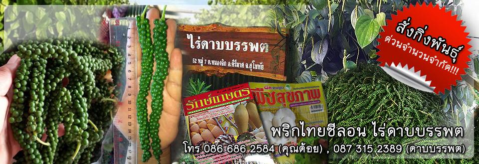 พริกไทยซีลอน ไร่ดาบบรรพต