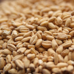 OAK SMOKED WHEAT Malt - Weyermann (1 lbs)