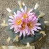 Lophophora fricii v La Pa (10 seeds)