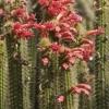 Bolivicereus samaipatanus (50 seeds)
