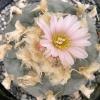 Lophophora williamsii v Texana (10 seeds)