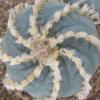Lophophora williamsii v Huizache (10 seeds)