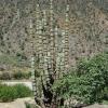 Armatocereus rauhii (50 seeds)