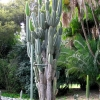 ARMATOCEREUS godingianus (50 seeds)