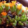 Conophytum bilobum (10 seeds)